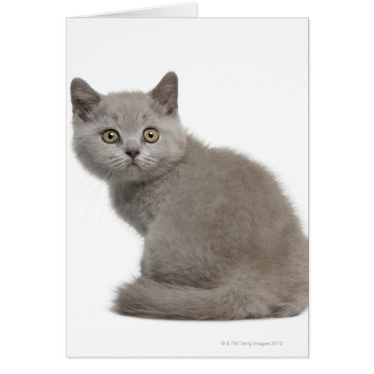 British Shorthair Kitten (10 weeks old) Card