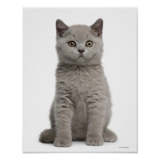 British Shorthair Kitten (10 weeks old) Poster