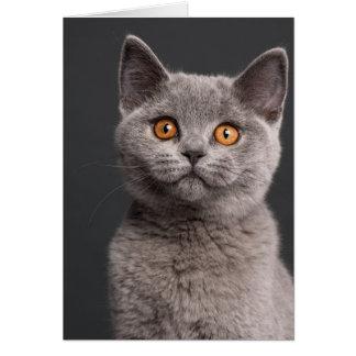British Shorthair kitten (3 months old) Cards