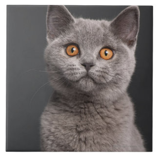 British Shorthair kitten (3 months old) Large Square Tile