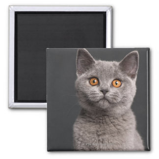 British Shorthair kitten (3 months old) Square Magnet