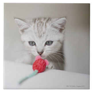 British shorthair kitten smelling toy mouse tile