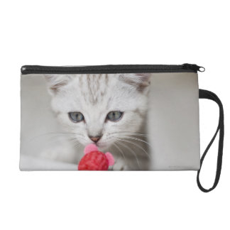 British shorthair kitten smelling toy mouse wristlet