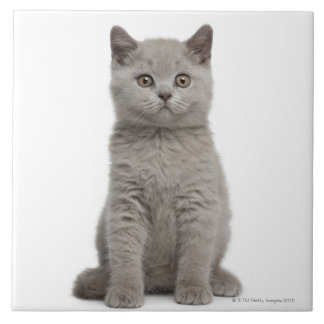 British Shorthair Kitten Tile