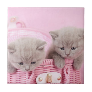 British shorthair kittens small square tile