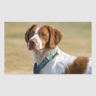 Brittany dog beautiful photo rectangle stickers