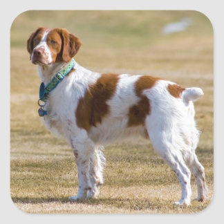 Brittany dog beautiful photo square stickers