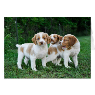 Brittany puppies note card