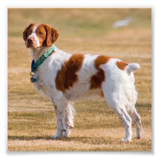 Brittany Spaniel Dog Beautiful Photo Print