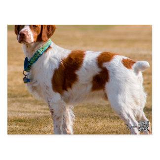 Brittany Spaniel Dog Beautiful Postcard