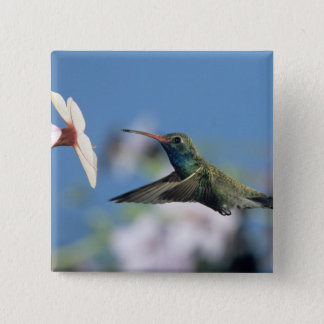 Broad-billed Hummingbird, Cynanthus 2 15 Cm Square Badge