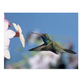 Broad-billed Hummingbird, Cynanthus 2 Postcard