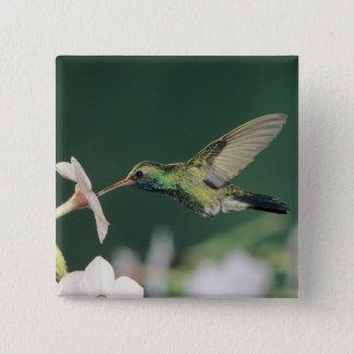 Broad-billed Hummingbird, Cynanthus latirostris, 15 Cm Square Badge