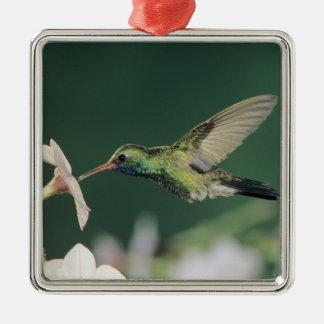 Broad-billed Hummingbird, Cynanthus latirostris, Christmas Ornament