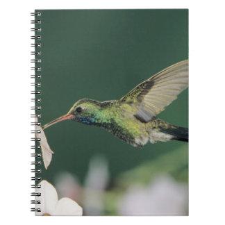 Broad-billed Hummingbird, Cynanthus latirostris, Notebook