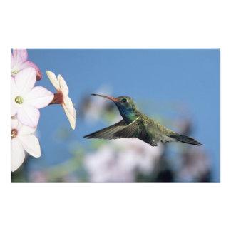 Broad-billed Hummingbird, Cynanthus Photo Art