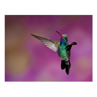 Broad-Billed Hummingbird, Cynanthus Postcard
