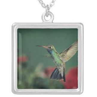 Broad-billed Hummingbird, Cynanthus Silver Plated Necklace