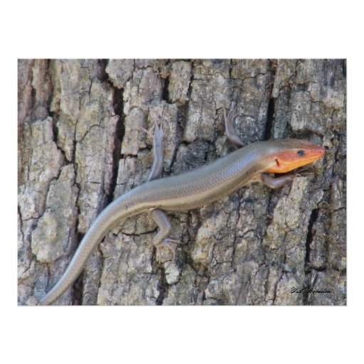 Broad-headed Skink Poster