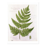 Broad Prickly-toothed Buckler Fern, painted at Bra Post Card