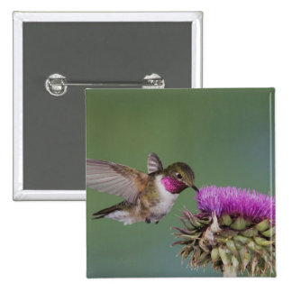 Broad-tailed Hummingbird, Selasphorus 2 15 Cm Square Badge
