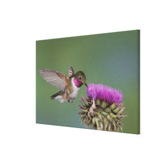 Broad-tailed Hummingbird, Selasphorus 2 Canvas Print