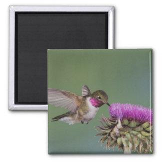 Broad-tailed Hummingbird, Selasphorus 2 Magnet
