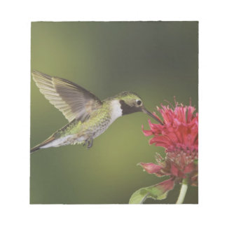 Broad-tailed Hummingbird, Selasphorus 2 Notepad
