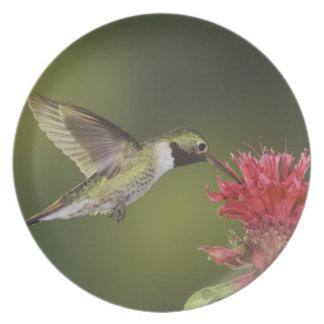 Broad-tailed Hummingbird, Selasphorus 2 Plate
