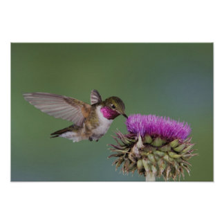 Broad-tailed Hummingbird, Selasphorus 2 Poster