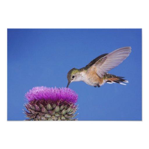 Broad-tailed Hummingbird, Selasphorus 3 Photographic Print