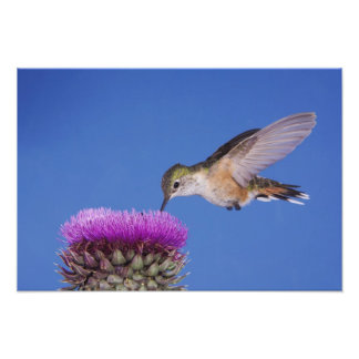 Broad-tailed Hummingbird, Selasphorus 3 Photograph
