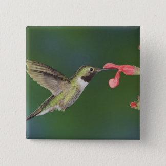 Broad-tailed Hummingbird, Selasphorus 4 15 Cm Square Badge