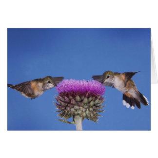 Broad-tailed Hummingbird, Selasphorus Card