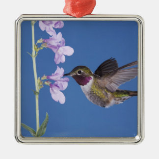 Broad-tailed Hummingbird, Selasphorus Christmas Ornament