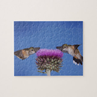 Broad-tailed Hummingbird, Selasphorus Jigsaw Puzzle