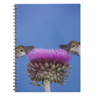 Broad-tailed Hummingbird, Selasphorus Notebook