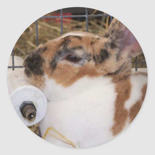 Broken tri color mini rex rabbit head on waterer round sticker