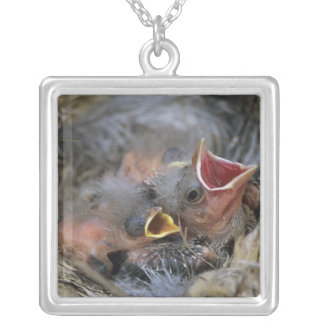 Bronzed Cowbird, Molothrus aeneus,young in Silver Plated Necklace