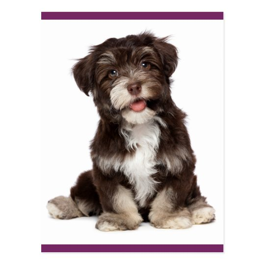 Brown and White Havanese Puppy Dog Postcard