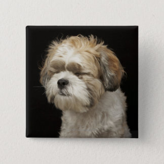 Brown and white Shih Tzu with eyes closed 15 Cm Square Badge
