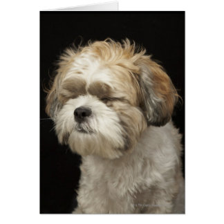 Brown and white Shih Tzu with eyes closed Card