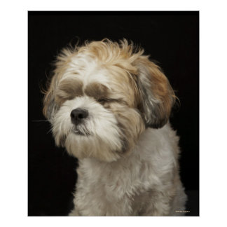 Brown and white Shih Tzu with eyes closed Poster