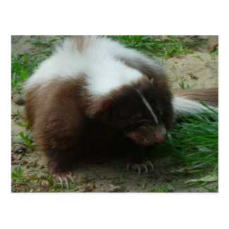 Brown and White Skunk Postcard