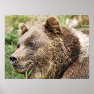 brown bear black forest poster