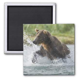 Brown Bear chasing salmon in river Magnet