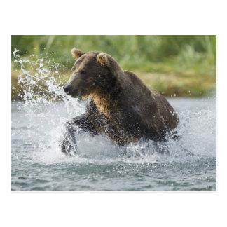 Brown Bear chasing salmon in river Postcard