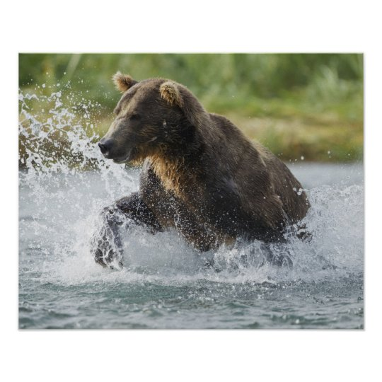 Brown Bear chasing salmon in river Poster