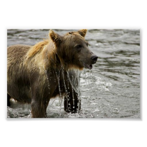 Brown bear emerging from water poster
