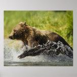 Brown bear, female, fishing for salmon poster